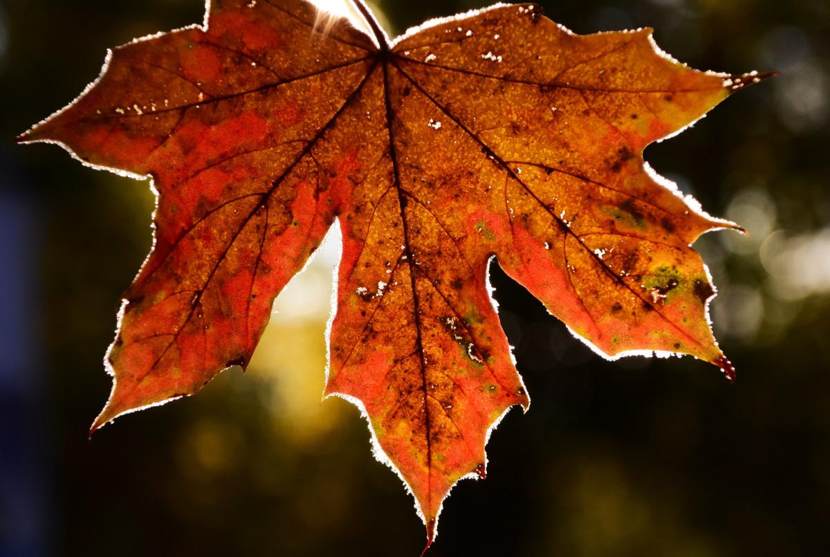Frosty Fall Leaves Wallpaper Bakgrundsbilder Tr 228 D Natur Gren Kall Blad Blomma