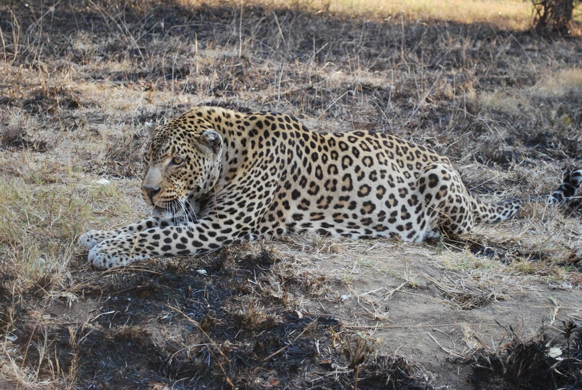 圖片素材 : 非洲, 動物群, 脊椎動物, 捷豹, 動物世界, 蘋果瀏覽器, 野生動物攝影, 南非, 大貓, 貓喜歡哺乳動物 ...