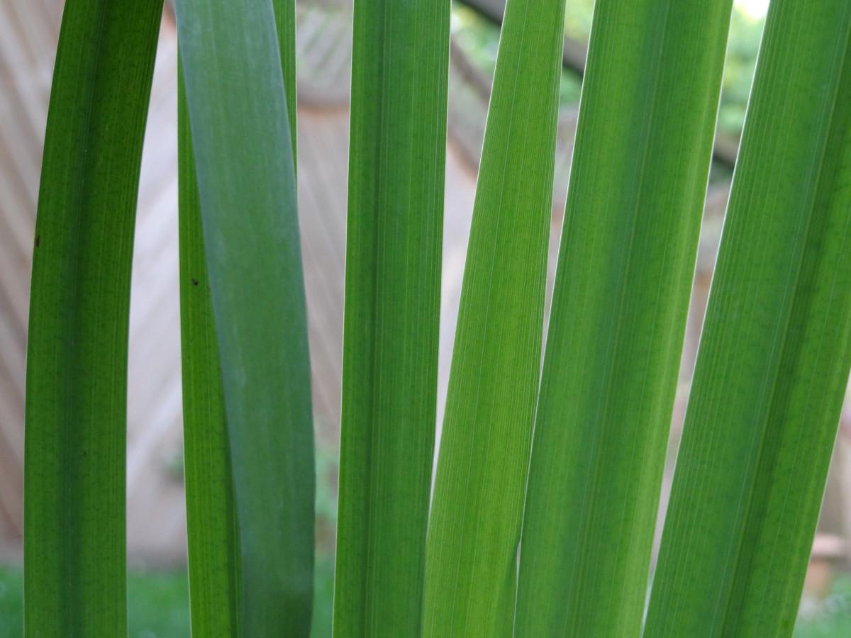 Gambar  menanam halaman rumput daun Buluh hijau