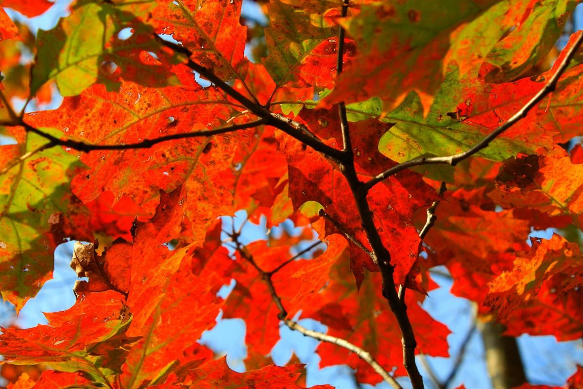 Maple Leaf Wallpaper For Fall Season Bildet Tre Natur Gren Anlegg Blad Oransje R 248 D