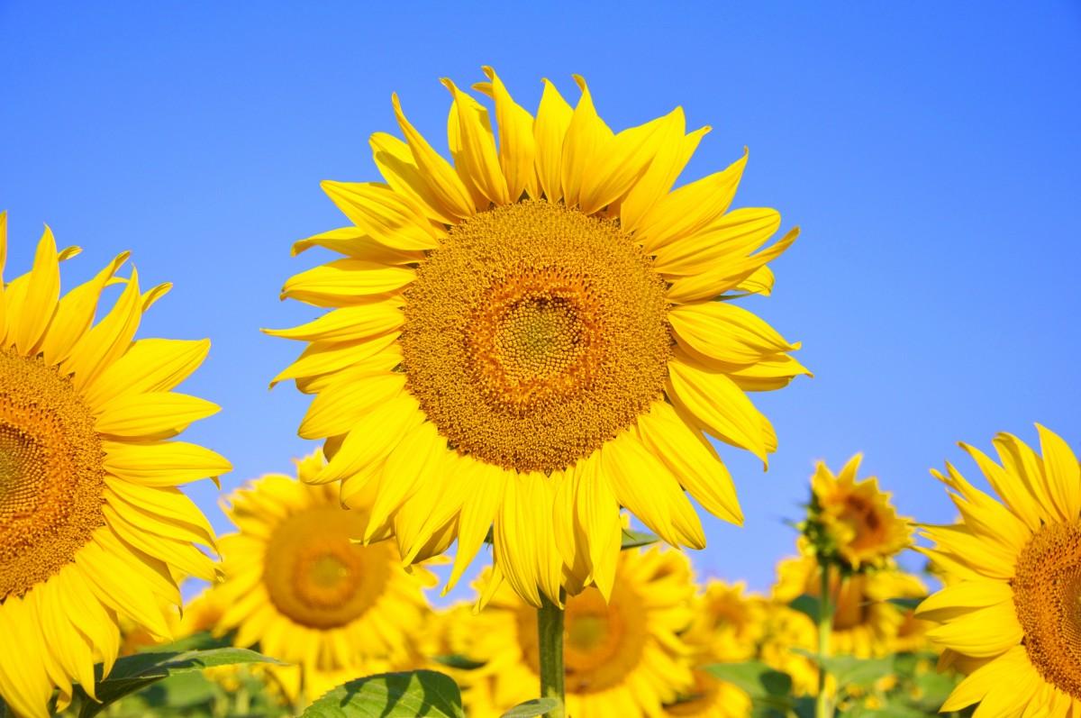 Kostenlose foto  Feld Bltenblatt Sommer Gelb Flora