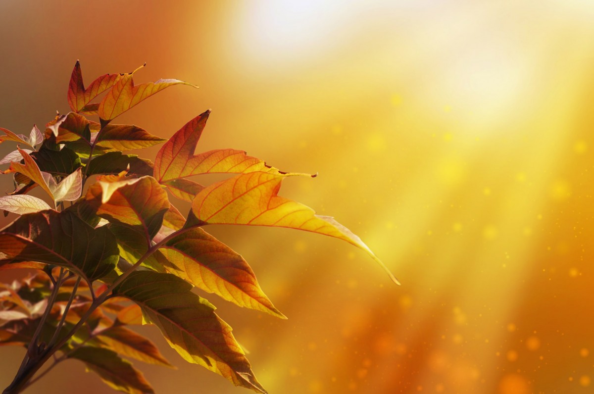 Maple Leaf Wallpaper For Fall Season Free Images Nature Branch Plant Sunlight Morning