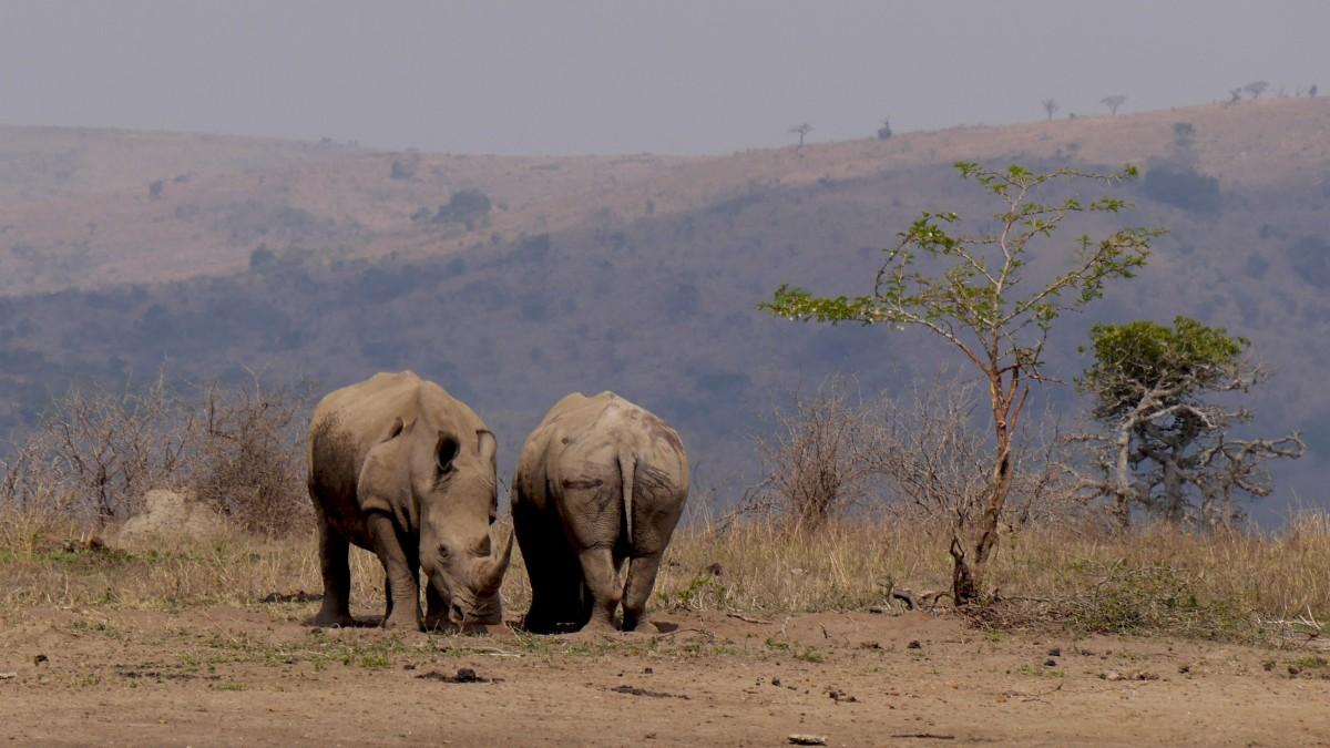 圖片素材 : 荒野, 冒險, 野生動物, 放牧, 國家公園, 動物群, 大草原, 平原, 犀牛, 蘋果瀏覽器, 南非, 印度大象 ...