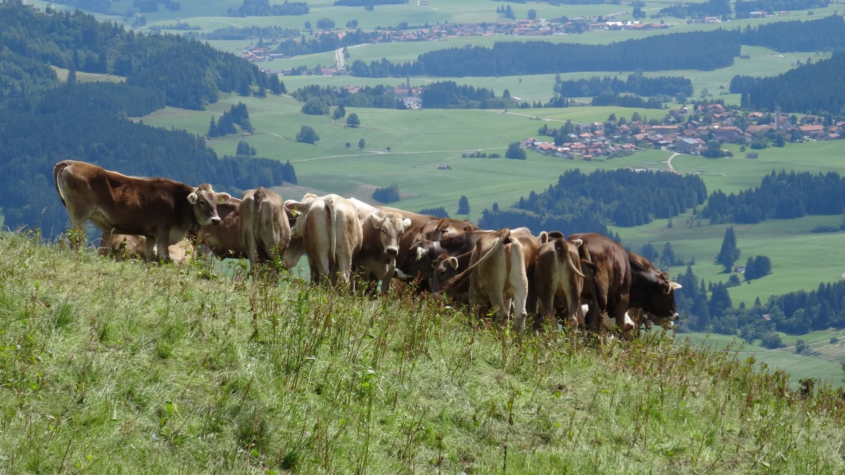 Gambar  bidang padang rumput melihat Panorama kawanan