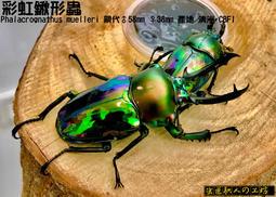 【蟲匠職人工坊】彩虹鍬形蟲 成蟲 (特價) - 露天拍賣