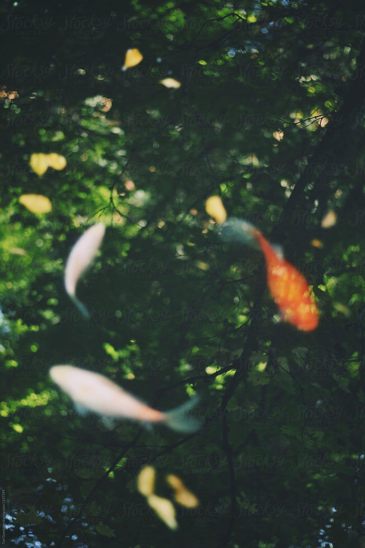 Koi Fish Circle : circle, Swimming, Circle, Gunstone, Fish,, Peaceful, Stocksy, United
