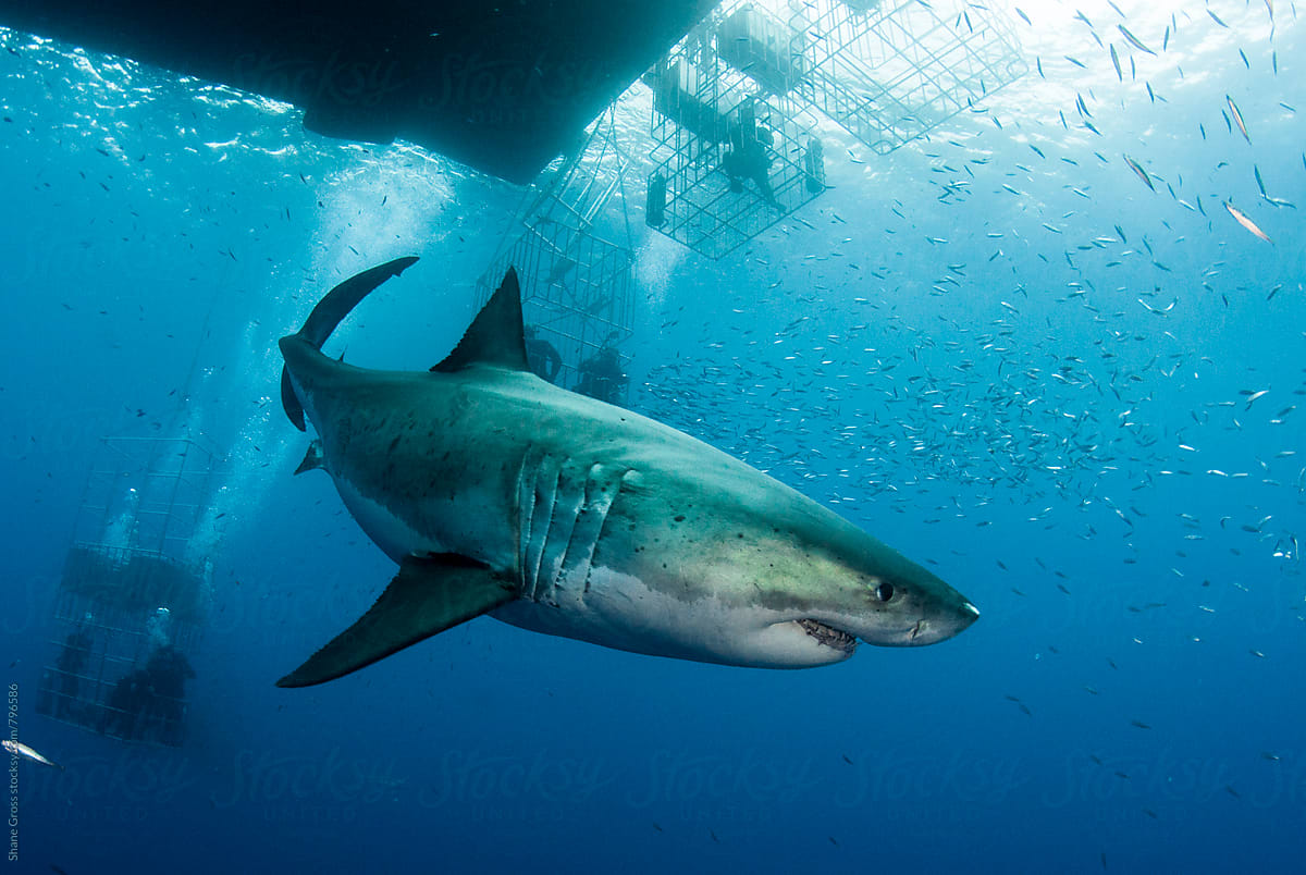 Great White Shark Swimming Among Cages By Shane Gross