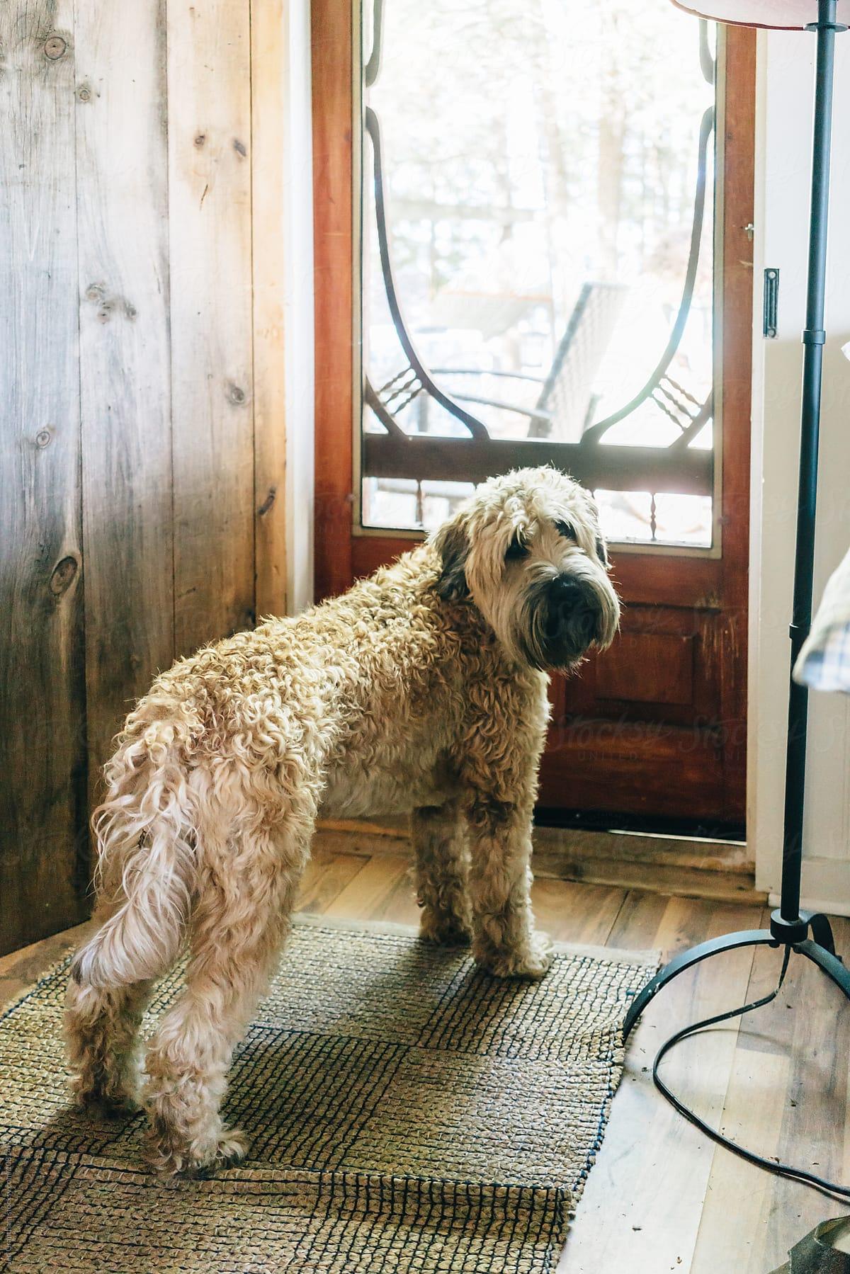 Wheaten Terrier Haircut Styles : wheaten, terrier, haircut, styles, Coated, Wheaten, Terrier, Outside, Cottag, Grantham, Stocksy, United