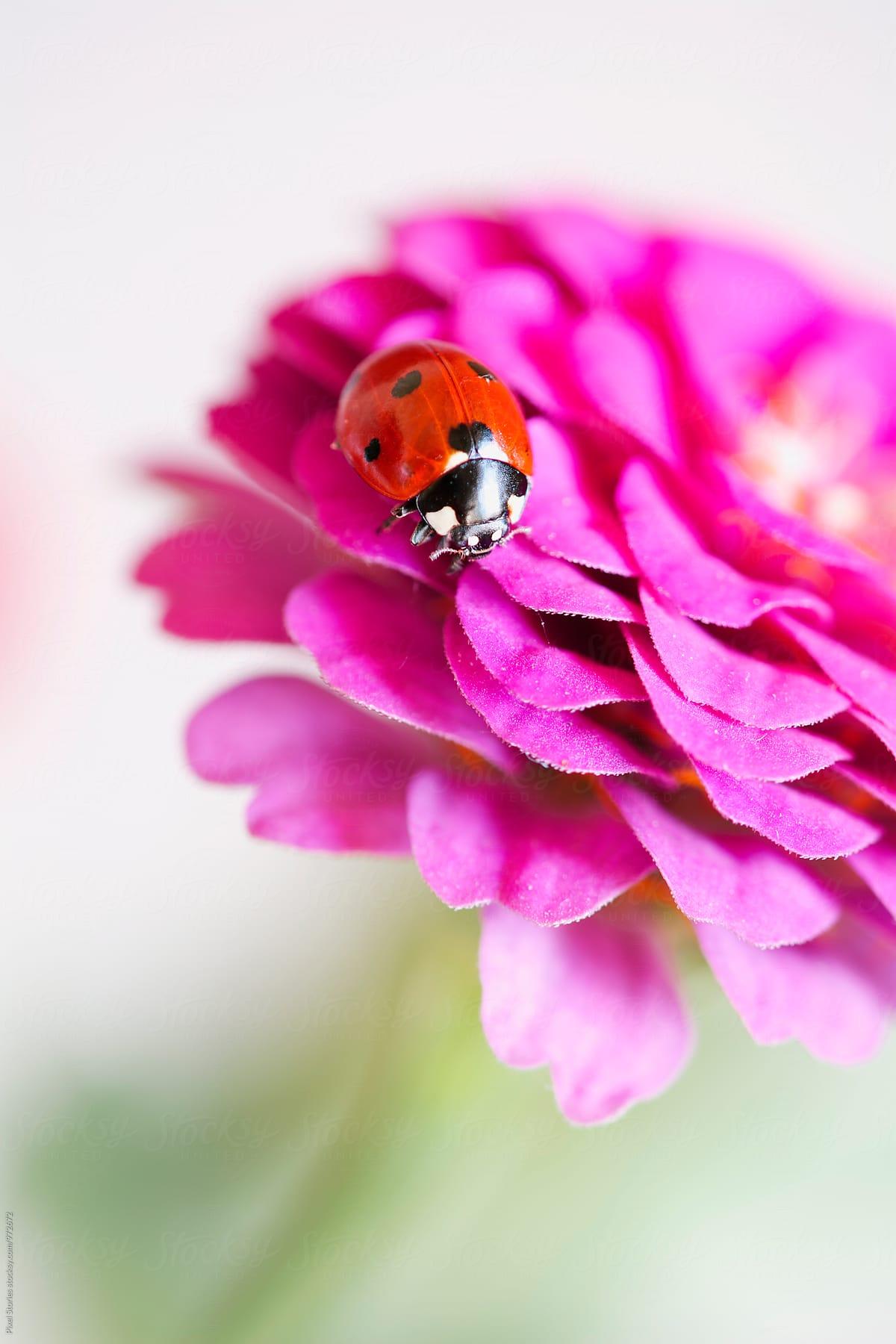 Ladybug On A Flower : ladybug, flower, Ladybug, Flower, Pixel, Stories, Ladybug,, Macro, Stocksy, United