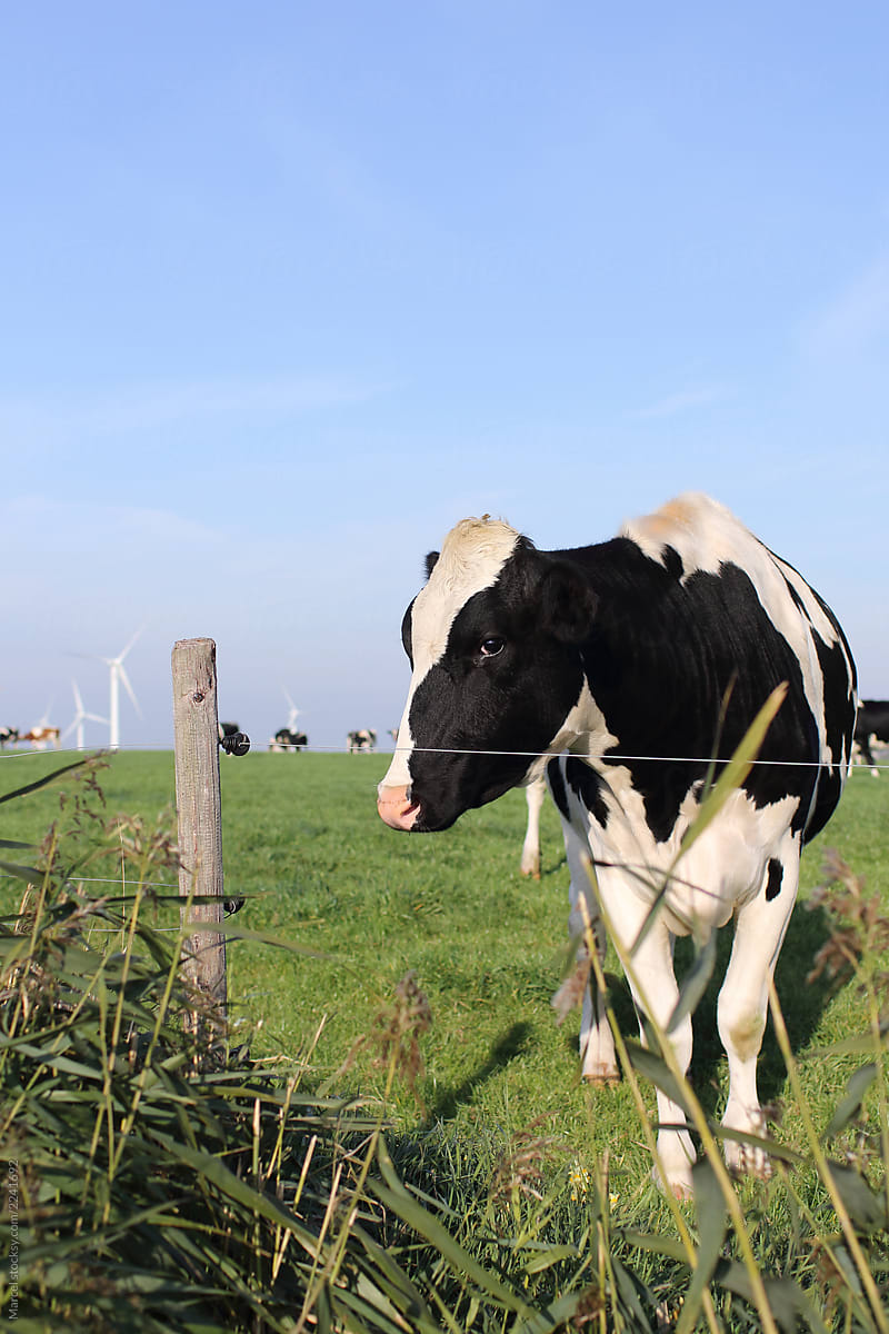 Cows In A Field : field, Field, Marcel, Dairy, Stocksy, United