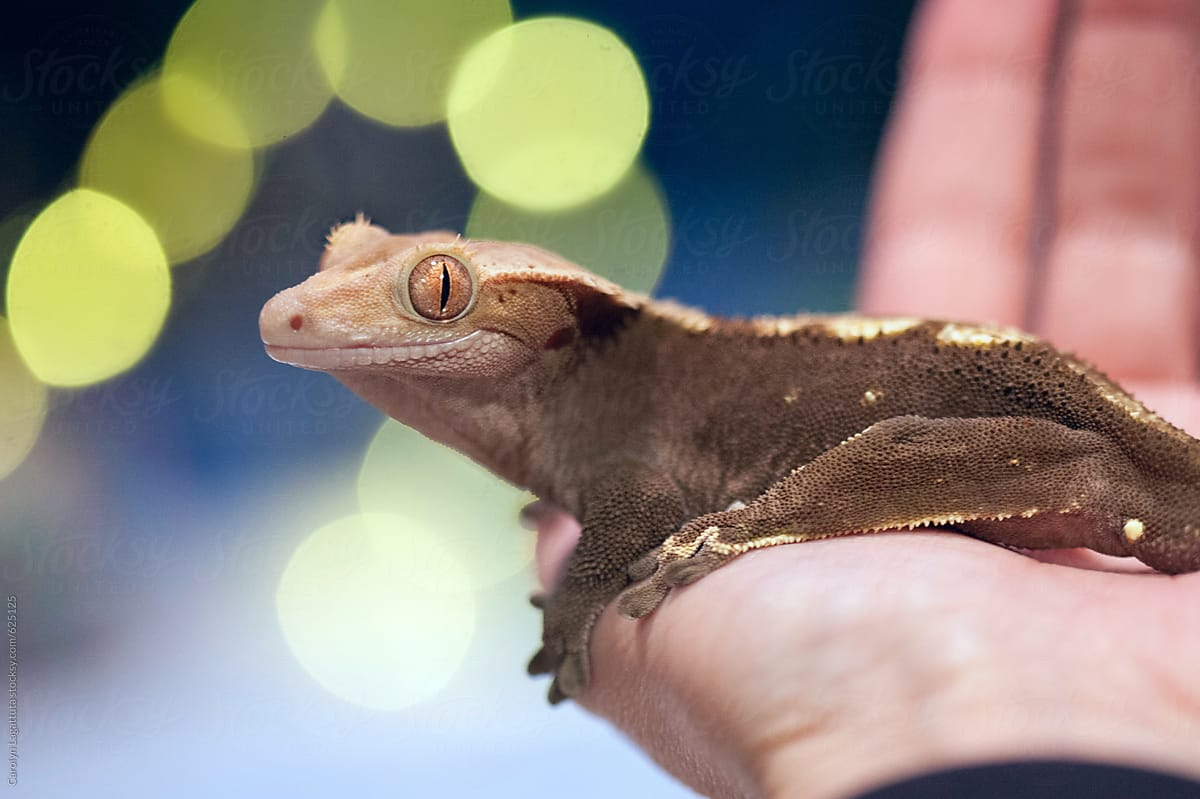 close up of a eyelash crested gecko in