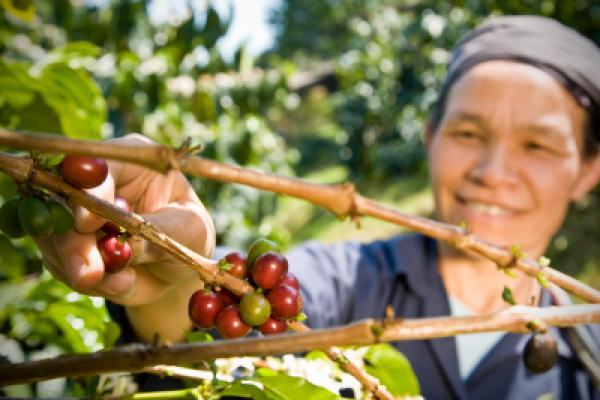 A fair trade coffee farmer picking organic coffee beans from the tree.