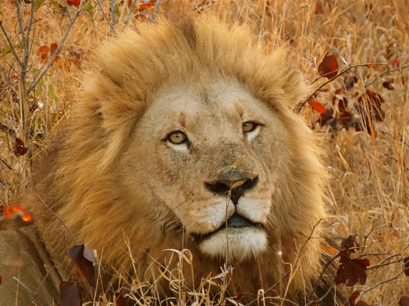 壁紙 : 野生動物, 大貓, 荒野, 晶須, Lowe, 蘋果瀏覽器, 南非, 貓像哺乳動物, 鼻子, 熱帶稀樹草原, 鬃毛, 生物 ...
