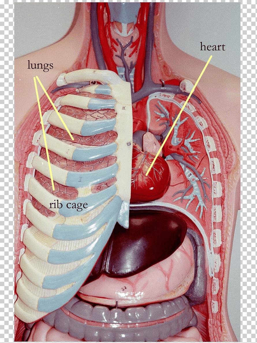 Rib Cage Diagram With Heart : diagram, heart, Organ, Thoracic, Cavity, Internal, Artery,, Organs,, Heart,, Lung,, Anatomy, Klipartz