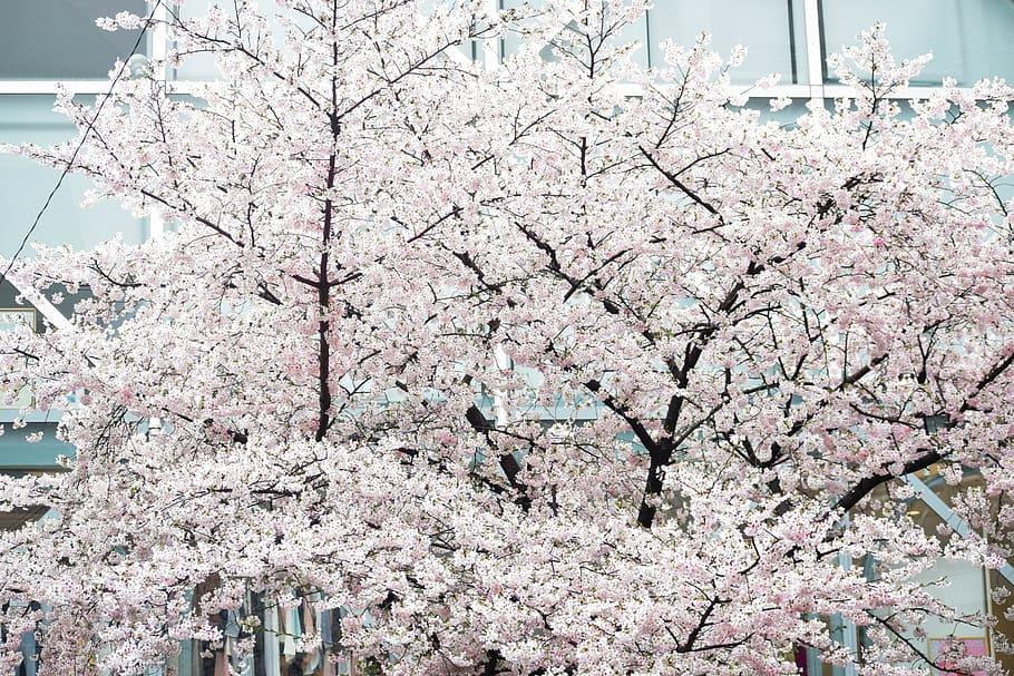 Hd Wallpaper Japan Kyoto Cherry Blossoms Tokyo Aesthetic Sakura Tree Wallpaper Flare