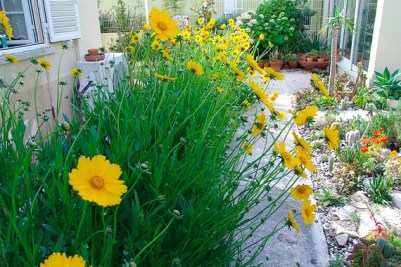 plants,no water,coreopsis
