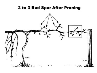 How To Prune A Muscadine or Scuppernong Vine
