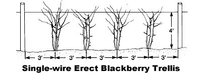 How To Plant And Grow Blackberries