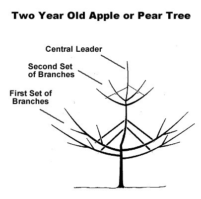 How And When To Prune An Asian Pear Tree