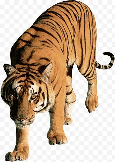 Gambar Harimau Png : gambar, harimau, Tiger, Conservation, Images, Klipartz