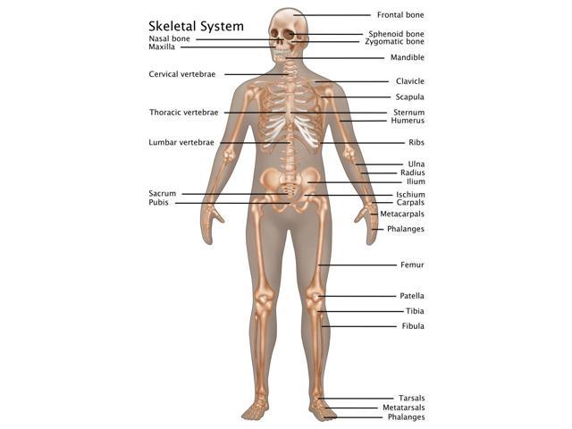 skeletal system in male anatomy poster print by gwen shockeyscience source 18 x 24
