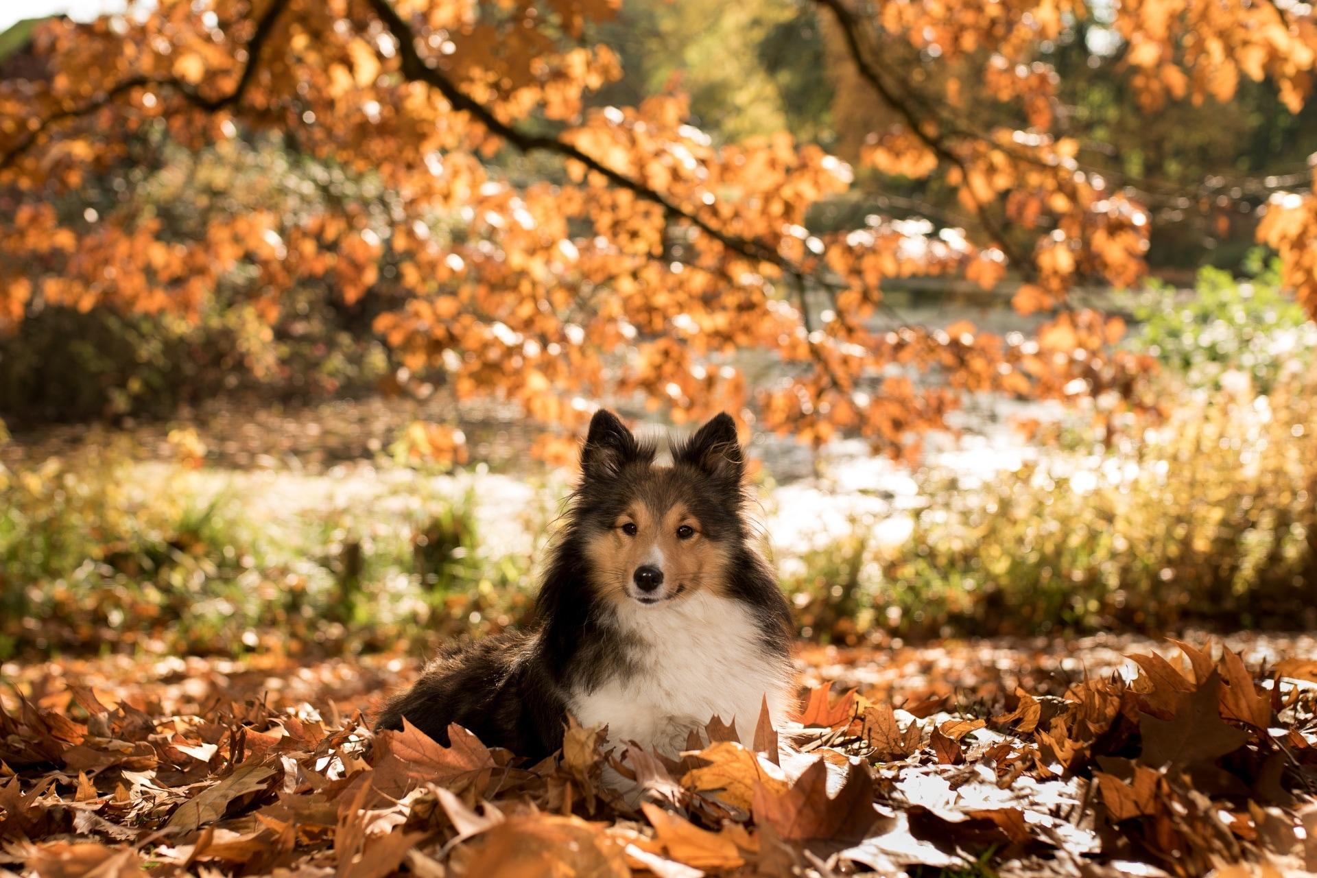 Happy Fall Wallpaper 1366x768 Tri Color Shetland Sheepdog Free Image Peakpx