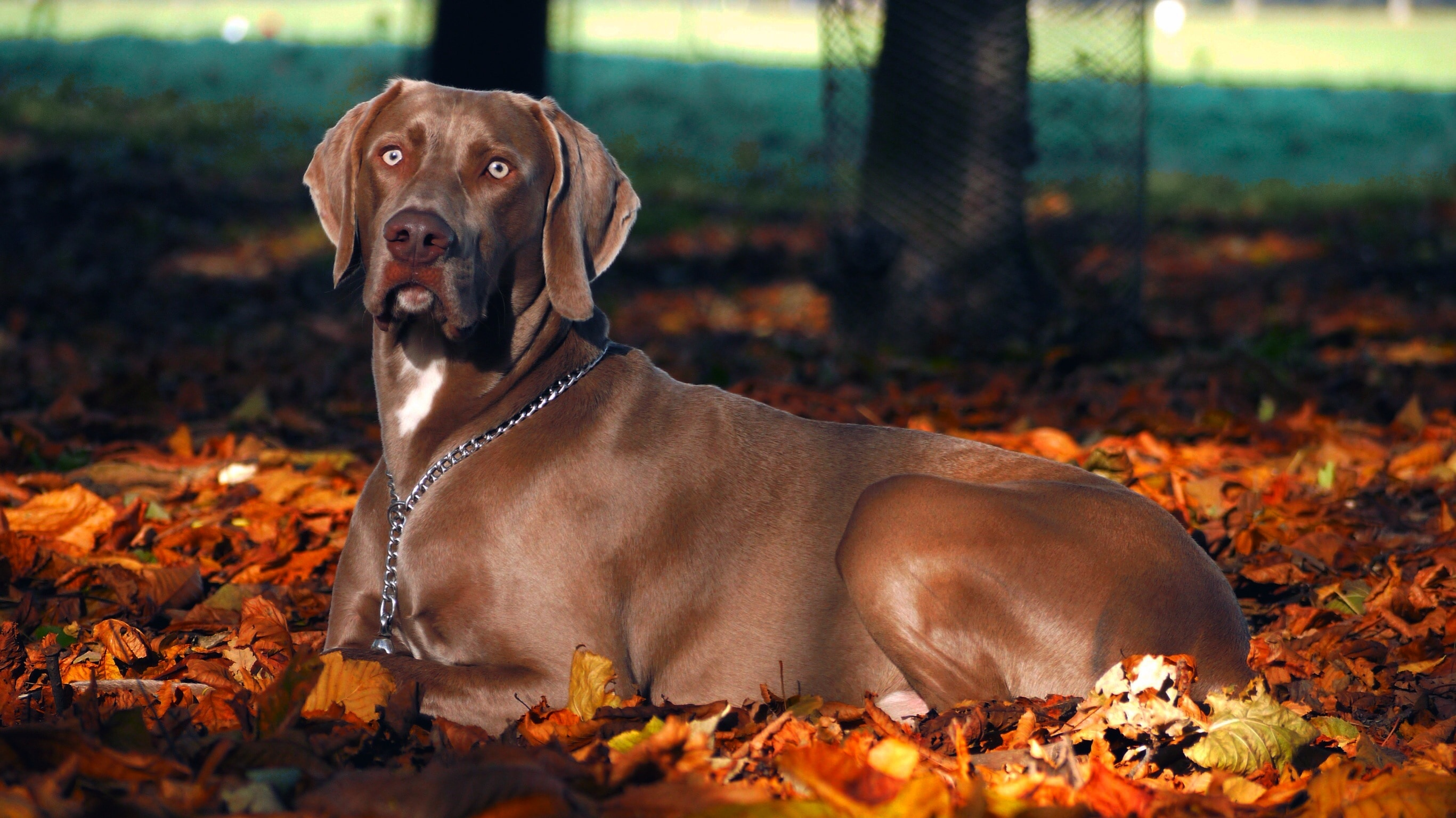 Free Cute Fall Wallpaper Fall Dog Weimaraner Autumn Dog Pets Free Image Peakpx