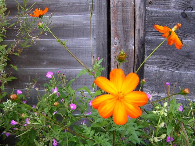 Wild Orange Flowers  In my back garden Barnet London