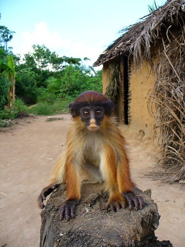 Tshuapa Red Colobus Monkey I Found This Young Animal In