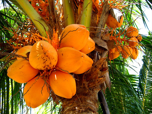 Yellow coconuts on the palm  A cluster of coconuts clings