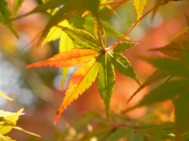 紅葉 Momiji