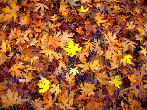 Free Hd Wallpaper Fall Leaves On Forest Floor Armstrong Redwoods Brian