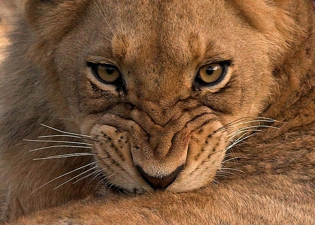 Beautiful Wild Animals Wallpapers Grrr I Am Going To Be Fierce When I Grow Up I M Gonna