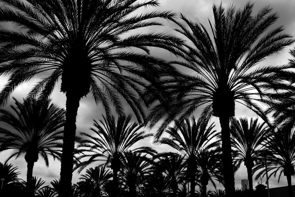 Palm Tree Forest  Forest of palm trees in Tustin CA