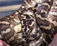 Irian Jaya Carpet Python | Alex Butler | Flickr