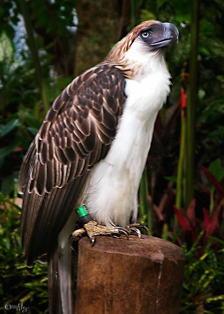 Monkeyeating Eagle Haribon  Philippine Eagle