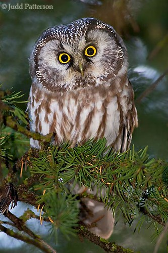 Boreal Owl  Rocky Mountain National Park  Judd Patterson