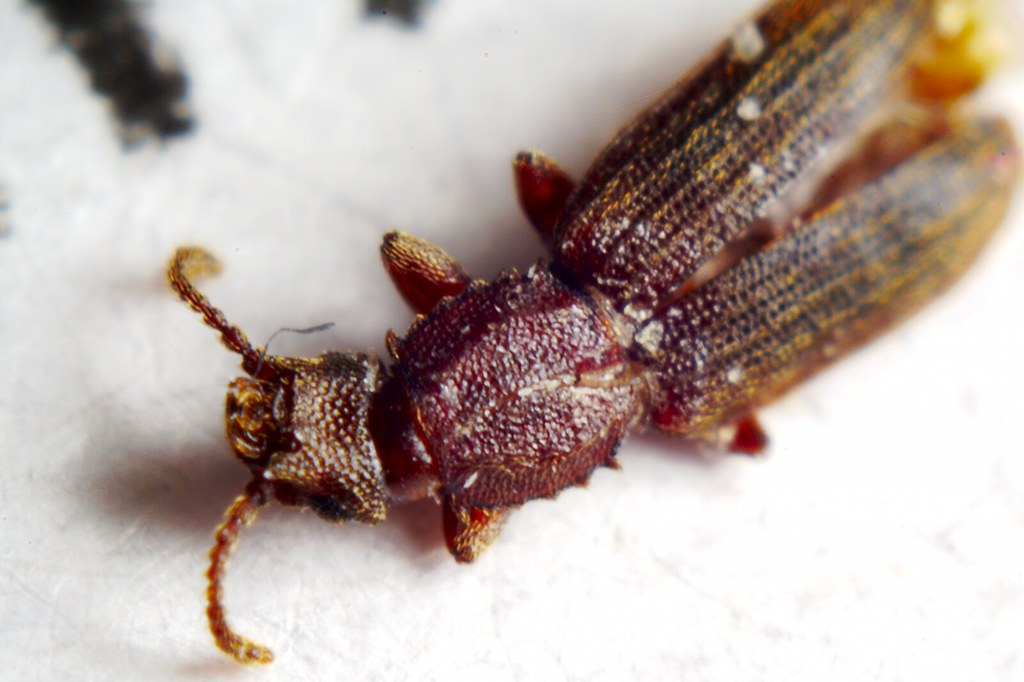 Sawtoothed Grain Beetle  Squashed in our kitchen The