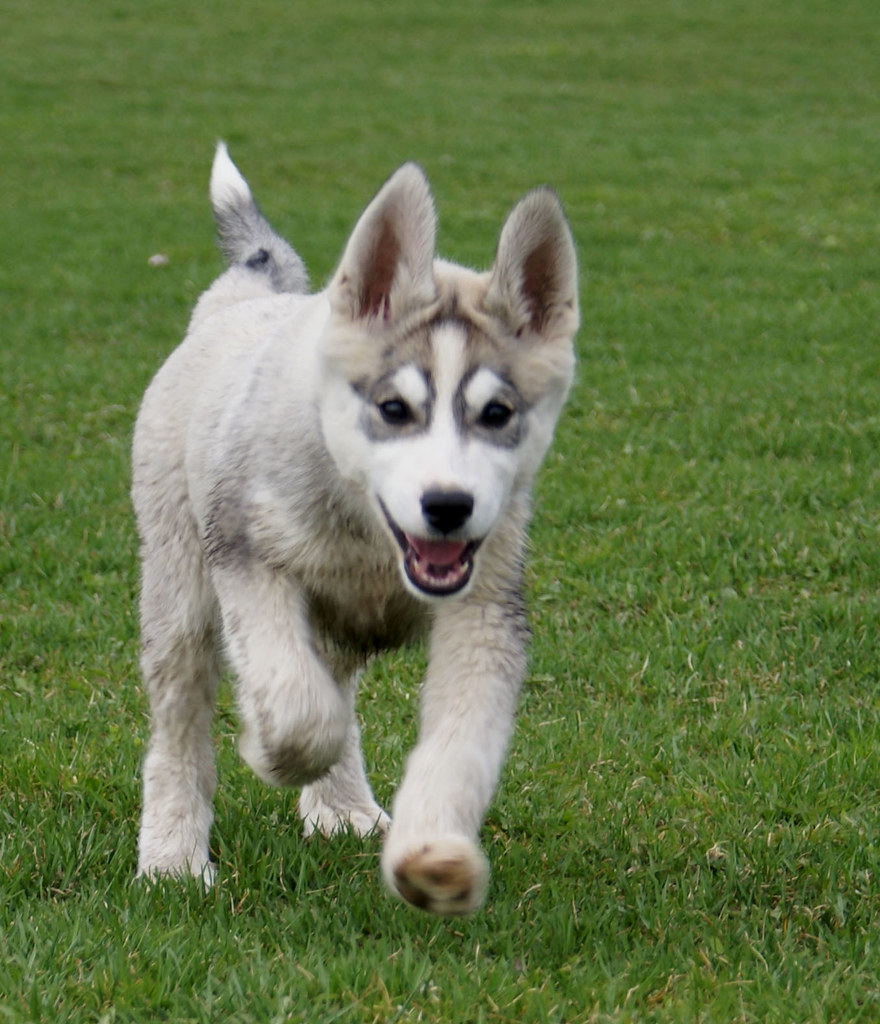 Cute Baby Pets Live Wallpaper Download The Pros And Cons Of Having Siberian Huskies As Pets