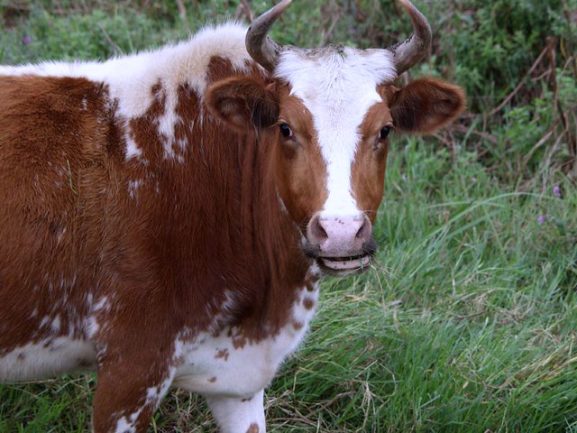 A Persian Cow Picture Of A Cow Grazing Happily In North