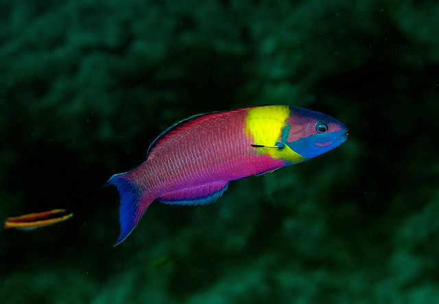 Cortez rainbow wrasse  The colourful male with the much