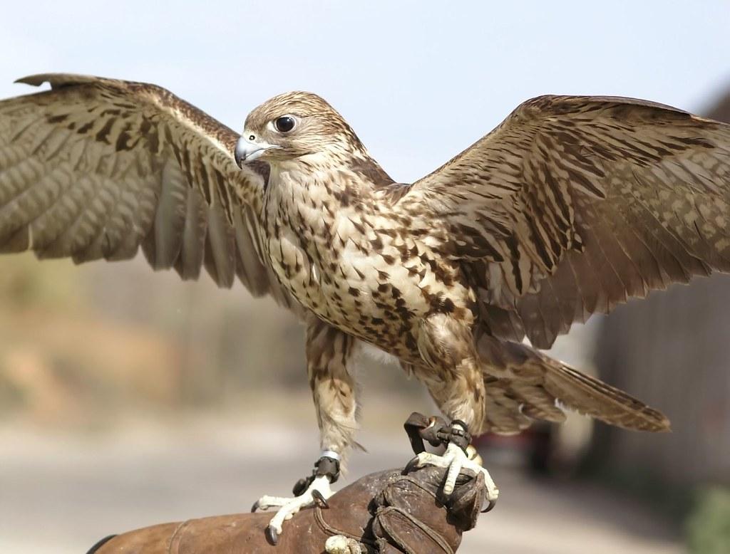 ginebra halcn sacre 02  Saker falcon  Falco cherrug