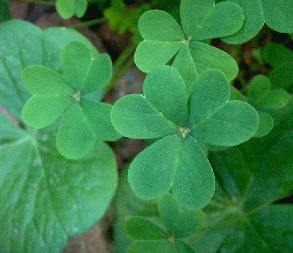 Oxalis Shamrocks Two Kinds  This is one image of the