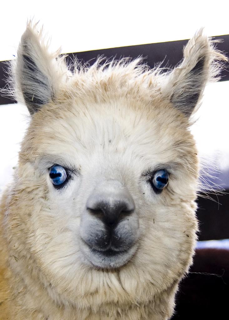 3d Wallpaper Blue Black Blue Eyed Llama Pinchak Flickr
