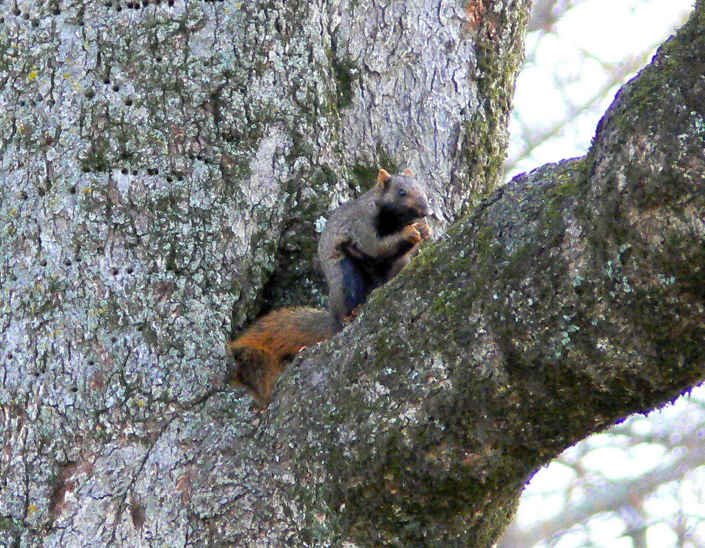 Fox Squirrel Sciurus niger  This squirrel has a black bel  Flickr