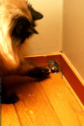 cornered mouse fighting our cat spaceghost  _MG_2971  Flickr
