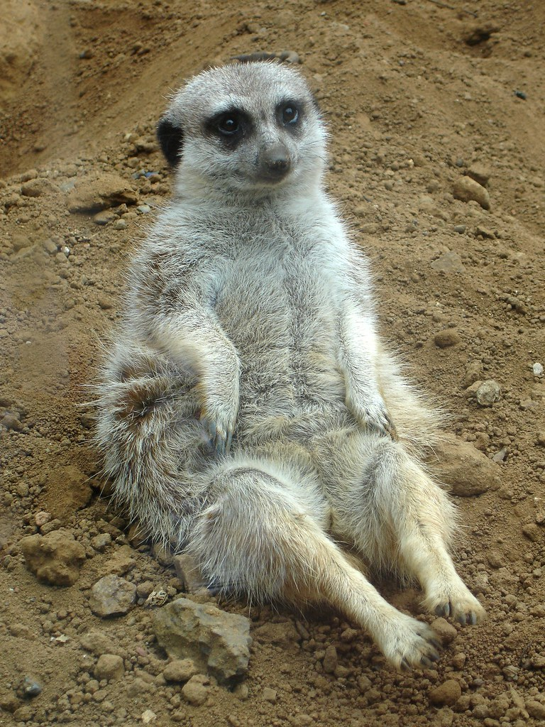 Meerkat sitting  in an invisible chair He just plopped