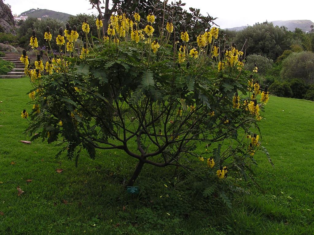arboles Jardin Canario Gran Canaria Islas Canarias 15