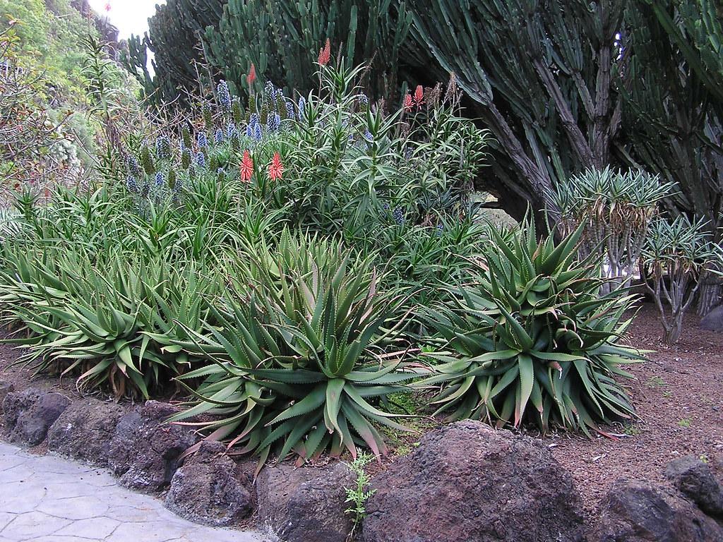 plantas Pita o Agave Jardin Canario Gran Canaria 13