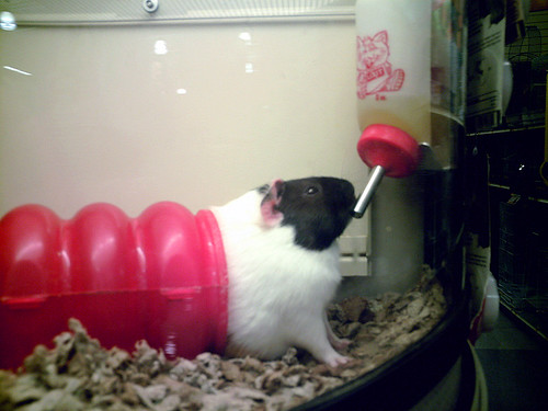 PetSmart Guinea pig  Will this hilariously fat creature